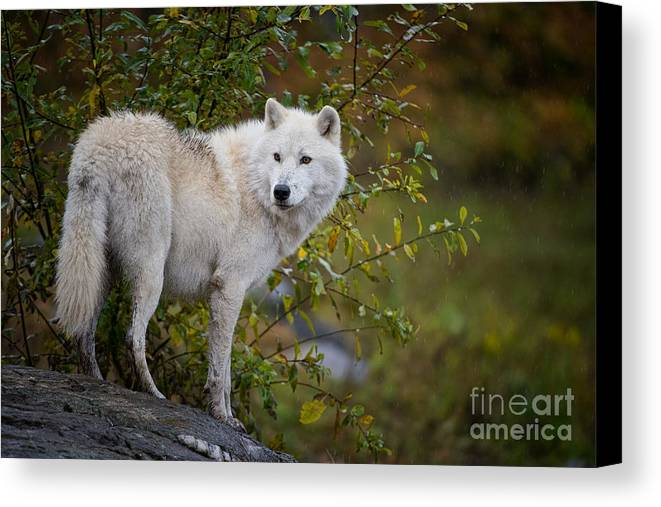 Wolves Canvas Print featuring the photograph Arctic Wolf by Michael Cummings