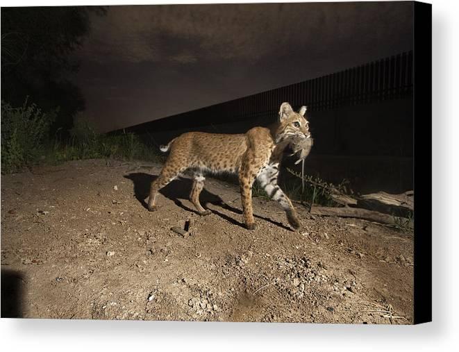 Outdoors Canvas Print featuring the photograph A Bobcat Crosses A Rio Grande Border by Joel Sartore