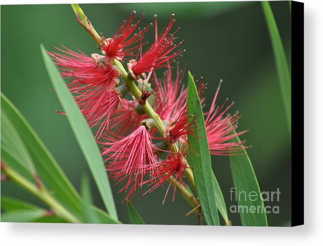Bottle Brush Canvas Print featuring the photograph A Brush With Beauty by Joanne Kocwin