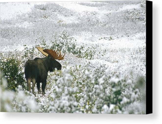 North America Canvas Print featuring the photograph A Bull Moose On A Snow Covered Hillside by Rich Reid