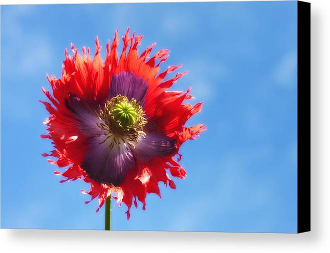 Blossom Canvas Print featuring the photograph A Colorful Flower With Red And Purple by John Short