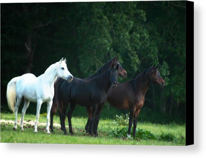 Arabian Horses Canvas Print featuring the photograph A Horse Of A Different Color by Katie Abrams