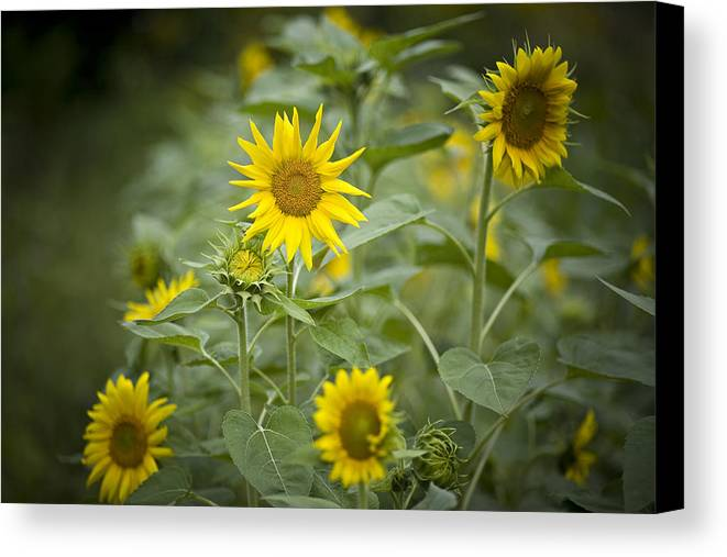 Madison Canvas Print featuring the photograph A Row Of Bright Yellow Sunflowers Grow by Hannele Lahti