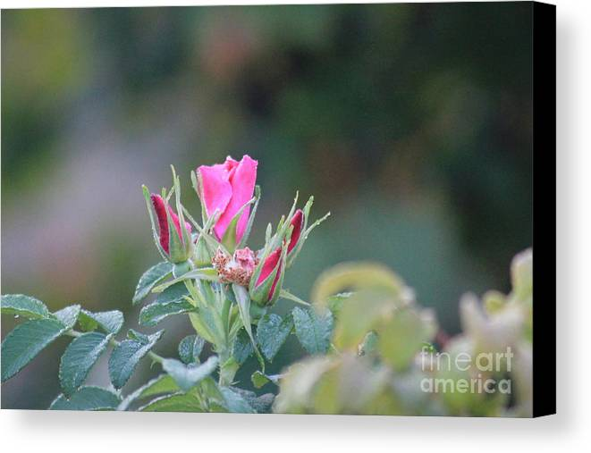 Wild Canvas Print featuring the photograph A Wild Rose by Joanne Parkinson - Frenchman Bay Photo