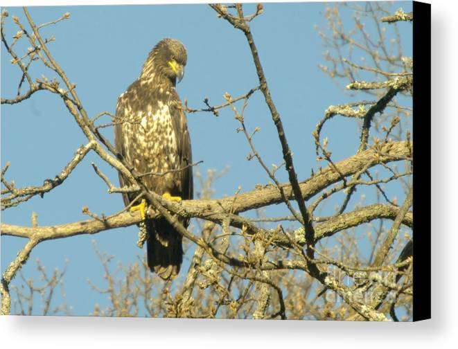 Eagles Canvas Print featuring the photograph A Young Eagle Gazing Down by Jeff Swan