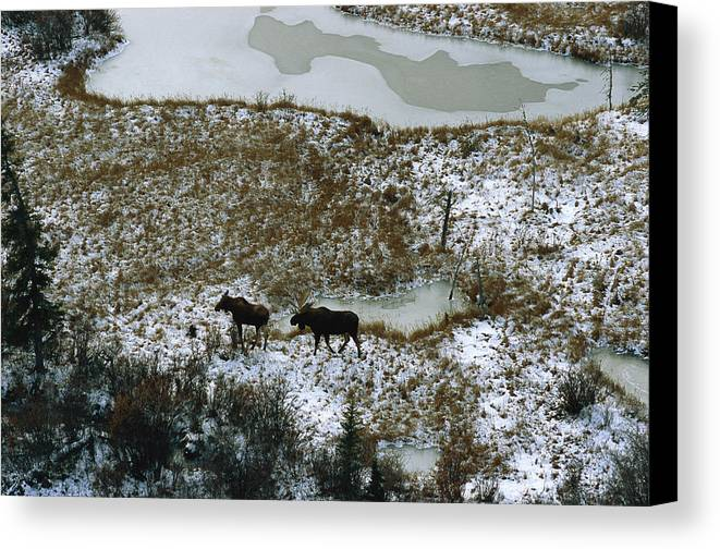 North America Canvas Print featuring the photograph Aerial Of A Male And Female Moose by Norbert Rosing