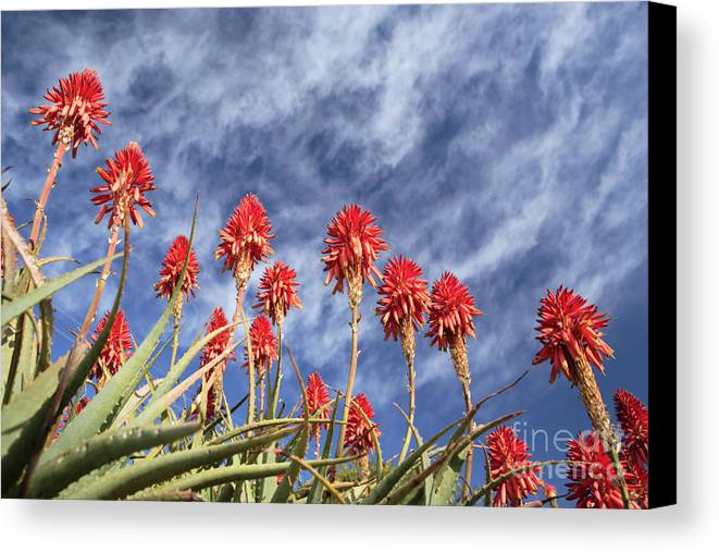 Krans Aloe Canvas Print featuring the photograph Aloes South Africa by Neil Overy