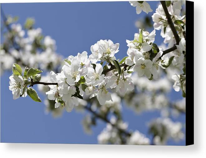 Horizontal Canvas Print featuring the photograph Apple Trees In Full Bloom by Wilfried Krecichwost