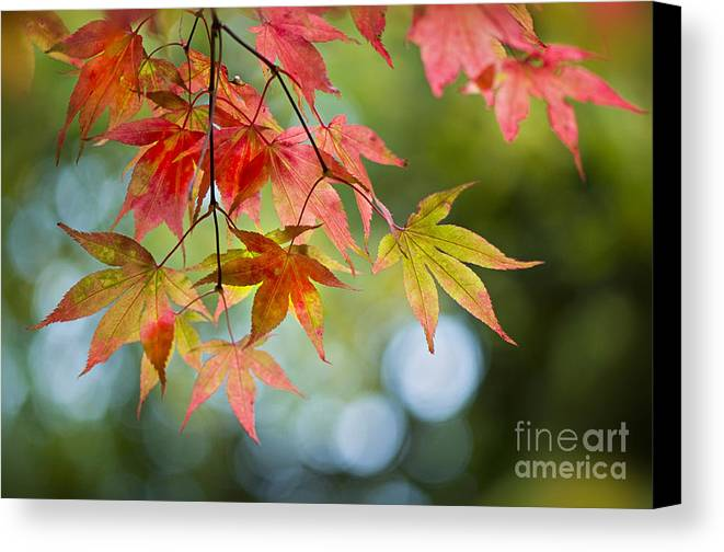 Acer Canvas Print featuring the photograph Autumn Reverie by Jacky Parker