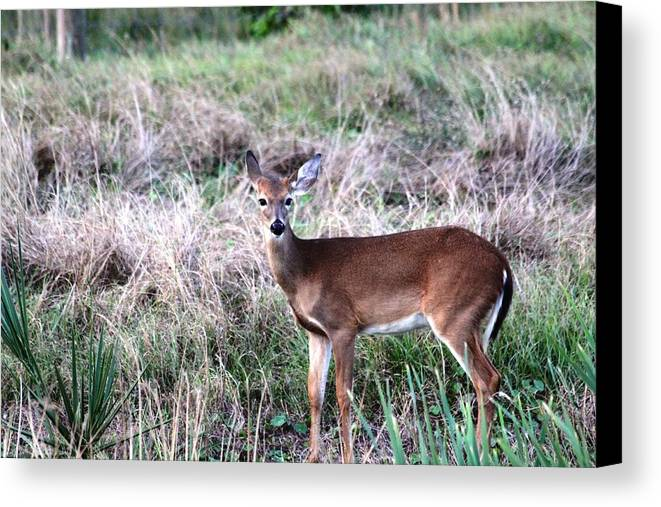 Deer Canvas Print featuring the photograph Baby Deer At Viera by Jeanne Andrews