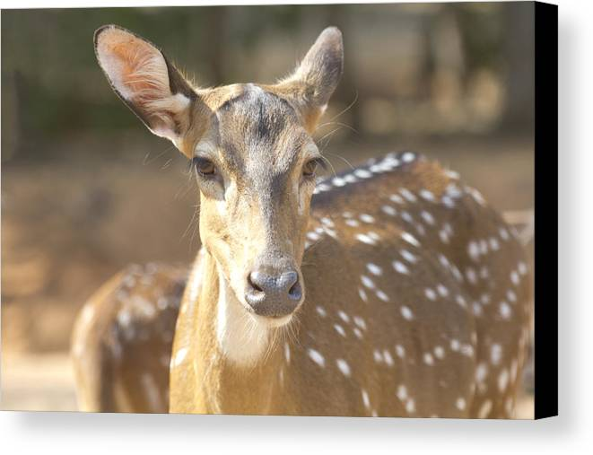 Deer Canvas Print featuring the photograph Bad Haircut Day by Douglas Barnard