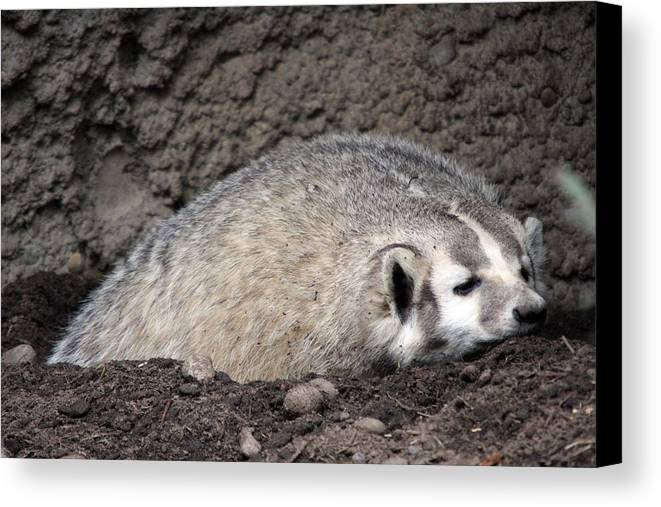 Northwest Trek Canvas Print featuring the photograph Badger - 0015 by S and S Photo
