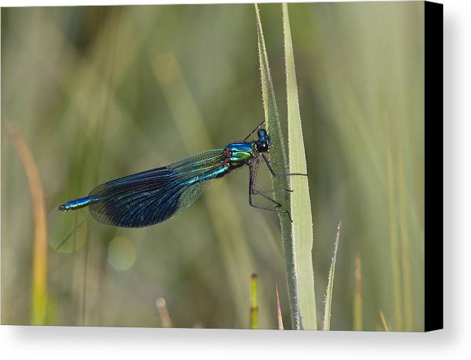 Mp Canvas Print featuring the photograph Banded Demoiselle Calopteryx Splendens by Konrad Wothe