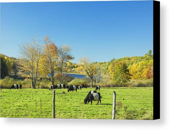 Cow Canvas Print featuring the photograph Belted Galloway Cows Grazing On Grass In Rockport Farm Fall Main by Keith Webber Jr