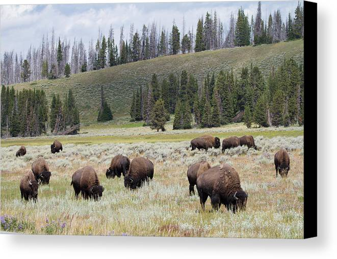 Horizontal Canvas Print featuring the photograph Bison Herd by Nathan Blaney
