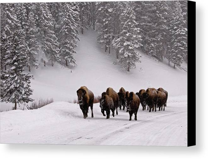 Horizontal Canvas Print featuring the photograph Bison In Winter by DBushue Photography
