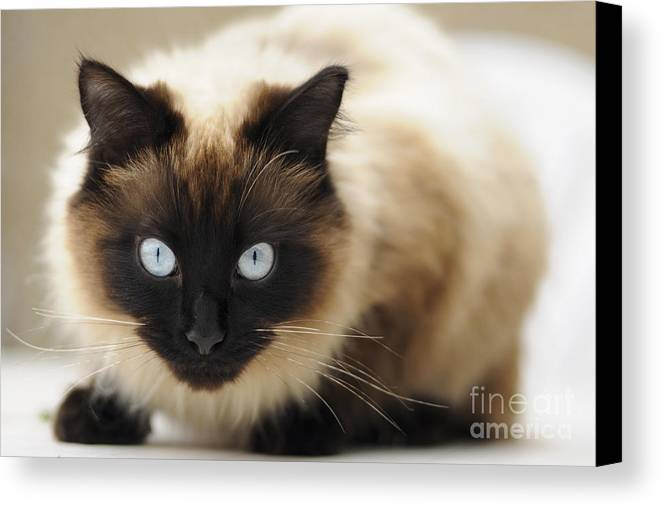 England Canvas Print featuring the photograph Blue Eyes by Andrew Michael