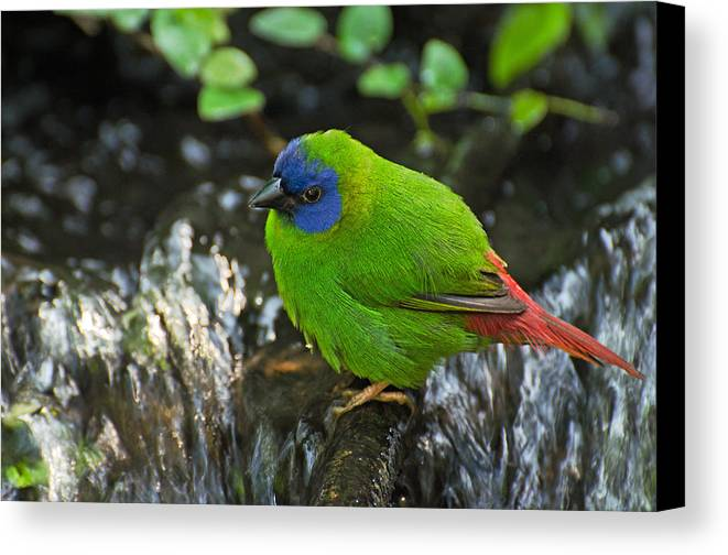Bird Canvas Print featuring the photograph Blue Faced Parrot Finch by Cheryl Cencich