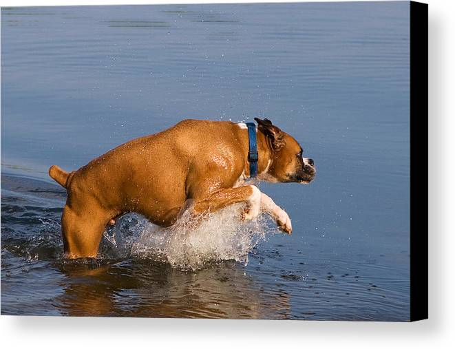 Boxer Canvas Print featuring the photograph Boxer Playing In Water by Stephanie McDowell