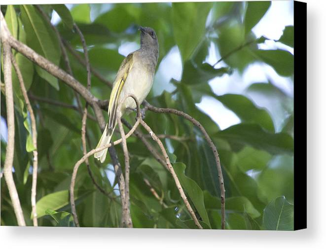 Brown Honeyeater Canvas Print featuring the photograph Brown Honeyeater by Douglas Barnard
