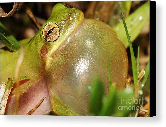 Tree Frog Canvas Print featuring the photograph Bubbleicious 2 by Lynda Dawson-Youngclaus