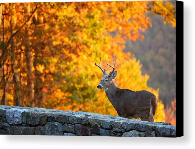 Metro Canvas Print featuring the photograph Buck In The Fall 06 by Metro DC Photography