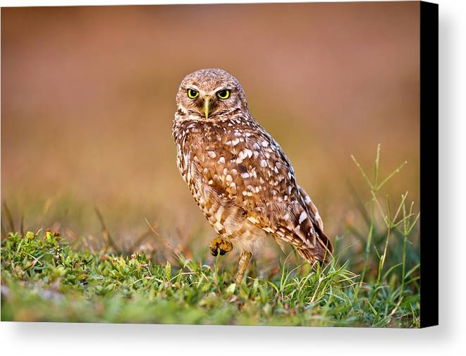 Horizontal Canvas Print featuring the photograph Burrowing Owl by TNWA Photography