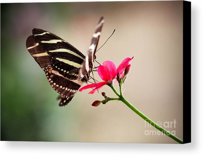 Animal Canvas Print featuring the photograph Butterfly by Kati Finell