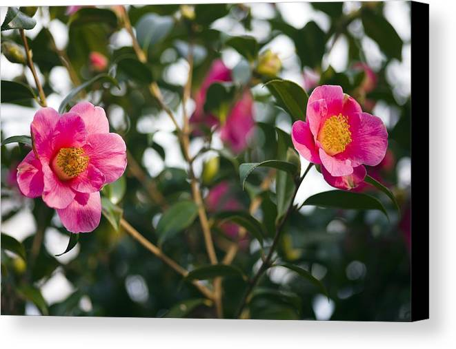 Camellia Japonica Canvas Print featuring the photograph Camellia Flower (camelia Japonica) by Dr Keith Wheeler