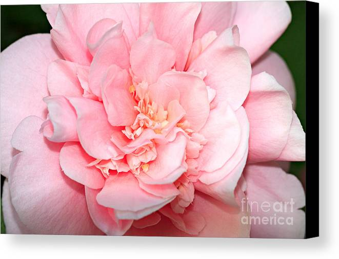 Camellia Canvas Print featuring the photograph Camellia by Louise Heusinkveld