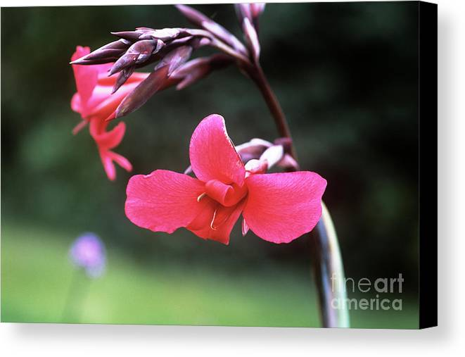 Canna X Ehemanii Canvas Print featuring the photograph Canna Lily (canna X Ehemanii) by Adrian Thomas
