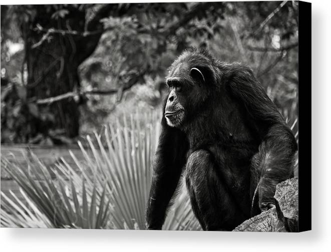 Chimp Canvas Print featuring the photograph Chimp by Tim Thoms