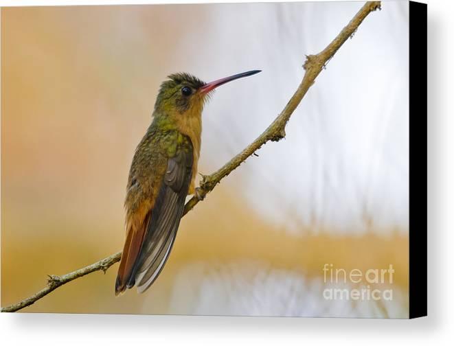 Cinnamon Hummingbird Canvas Print featuring the photograph Cinnamon Hummingbird Resting. by Christine Kapler