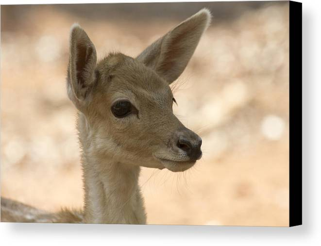 Juvenile Deer Canvas Print featuring the photograph Close-up by Douglas Barnard
