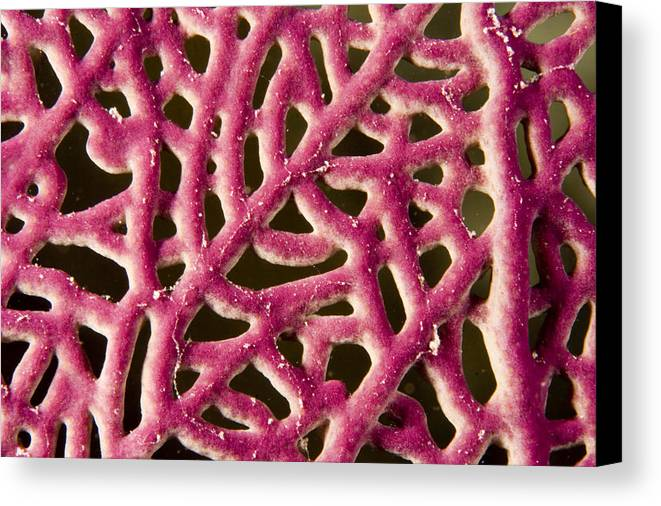 Patterns Canvas Print featuring the photograph Closeup Detail Of A Pink Sea Fan by Tim Laman