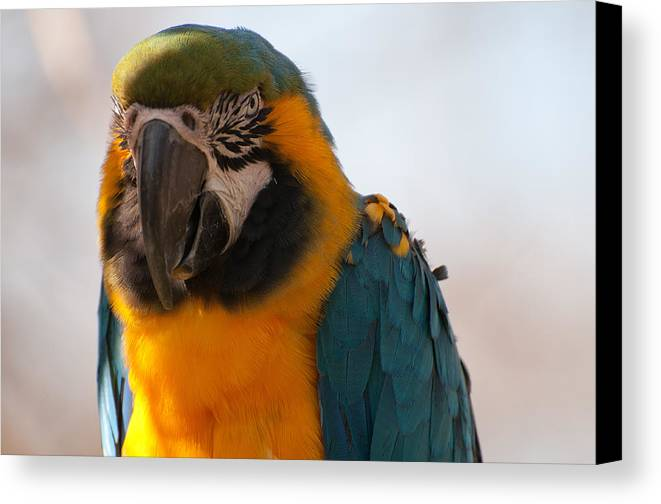 Parrot Canvas Print featuring the photograph Colourful by Hrayr Galoyan