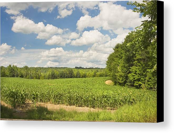 Corn Canvas Print featuring the photograph Corn Growing In Maine Farm Field by Keith Webber Jr