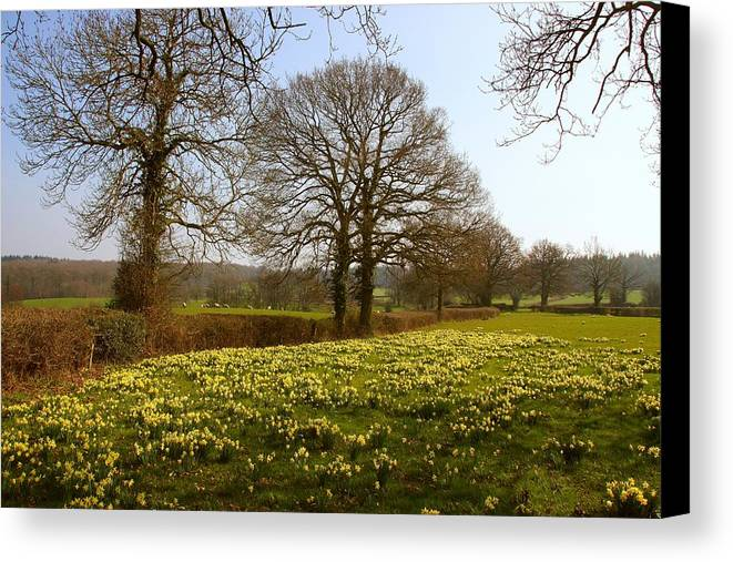 A Daffodil Glade Near Kempley Canvas Print featuring the photograph Daffodil Glade by Ed Lukas
