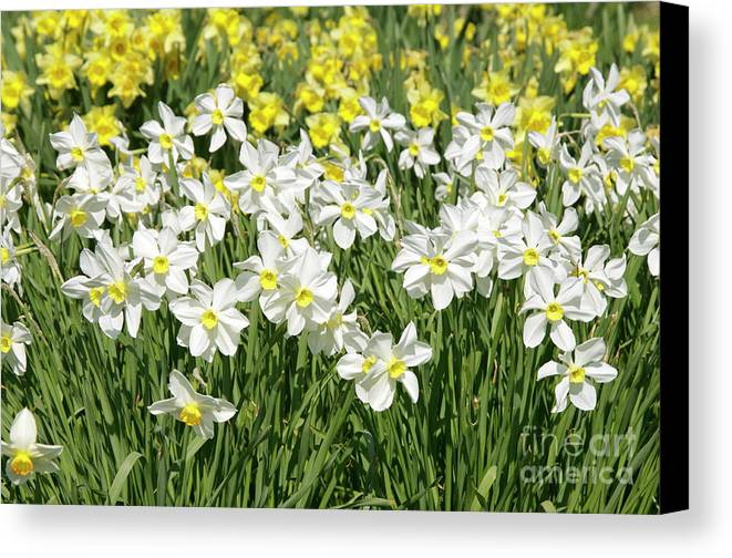 Narcissus Sp. Canvas Print featuring the photograph Daffodils (narcissus Sp.) by Johnny Greig