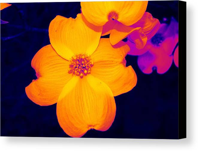 Flower Canvas Print featuring the photograph Daring Dogwood I by Tessa Murphy