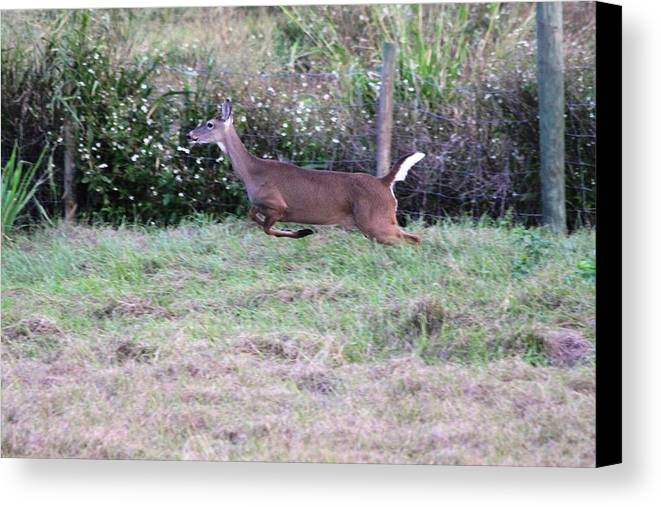 Deer Canvas Print featuring the photograph Deer At Viera by Jeanne Andrews