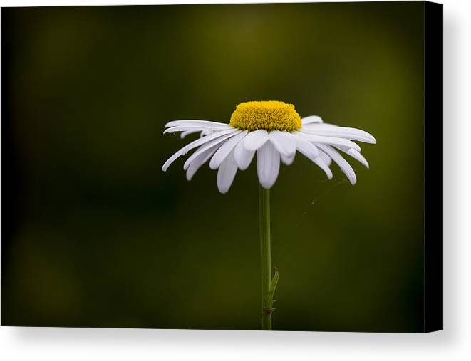 Leucanthemum Canvas Print featuring the photograph Defiant Daisy by Clare Bambers