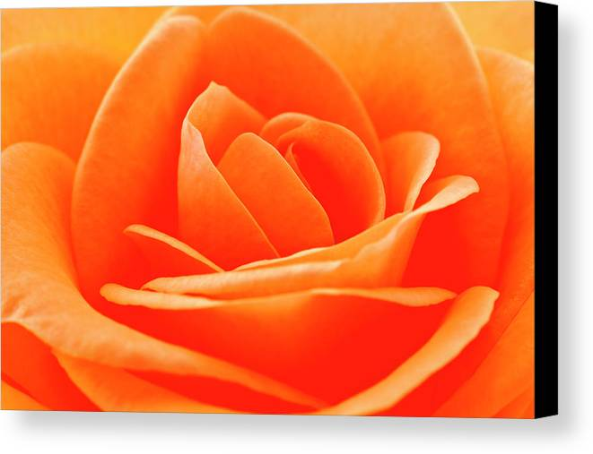 Horizontal Canvas Print featuring the photograph Detailed Close Up Of A Rose by Carolyn Woodcock