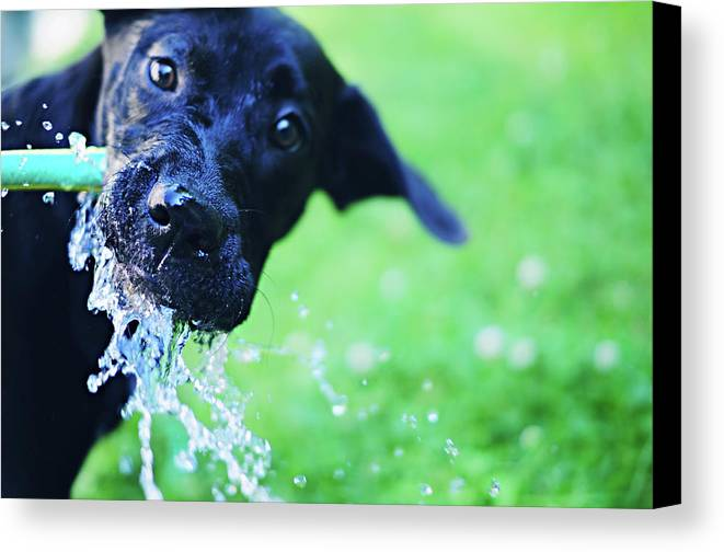Horizontal Canvas Print featuring the photograph Dog Drinking From A Water Hose by Crissy Kight / www.dearcrissy.com