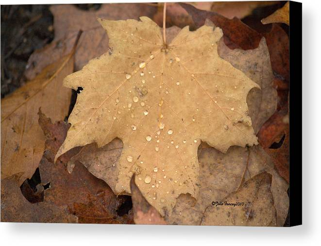 Maple Leaf Canvas Print featuring the photograph Drops On A Golden Leaf by Jale Fancey