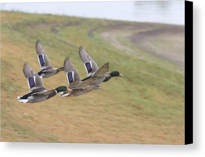 Ducks In Flight Canvas Print featuring the photograph Ducks In Flight V3 by Douglas Barnard