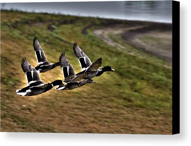 Ducks In Flight Canvas Print featuring the photograph Ducks In Flight V5 by Douglas Barnard