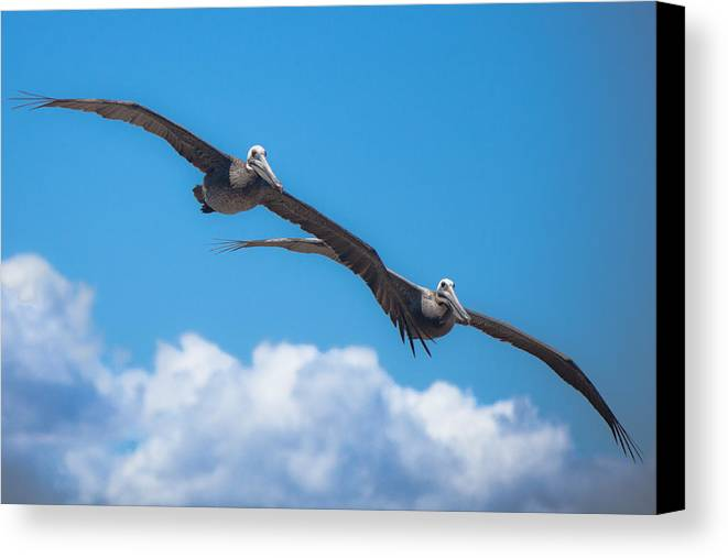 Pelican Canvas Print featuring the photograph Duet by Ralf Kaiser