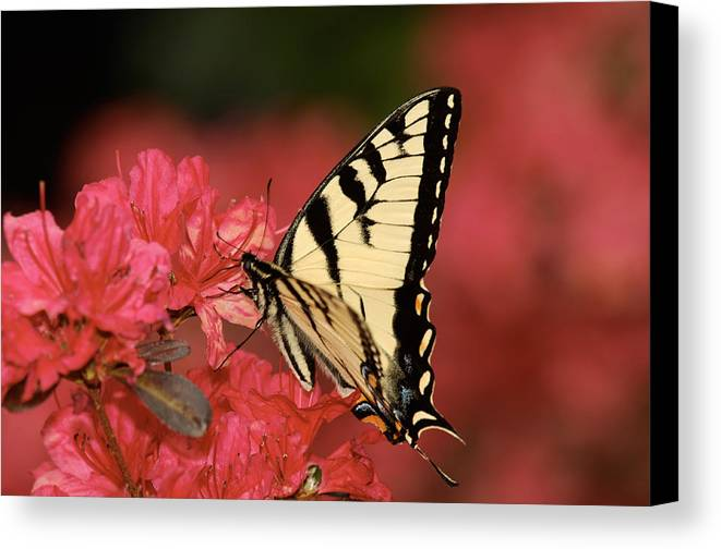 Butterfly Canvas Print featuring the photograph Eastern Yellow Tiger Swallowtail And Azaleas by Lara Ellis