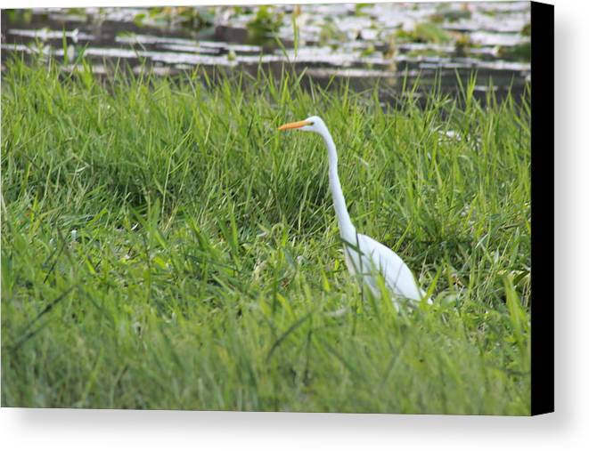 Egret Canvas Print featuring the photograph Egret Waling Tall by Mike Wilber
